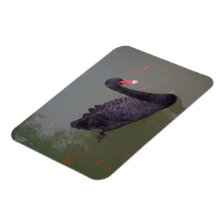 A black swan on the water rectangular photo magnet