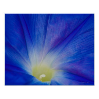 A blue morning glory flower poster