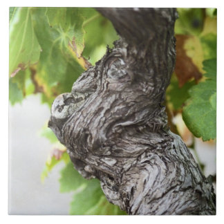 A branch of a very old vine with gnarled large square tile