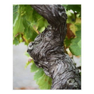 A branch of a very old vine with gnarled poster