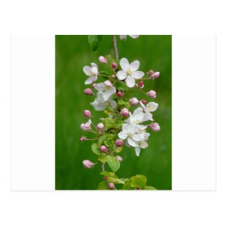 A Branch of Apple Blossom Postcards