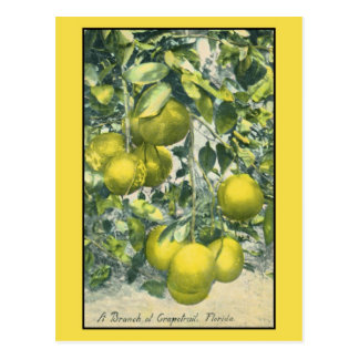 A Branch of Grapefruit, Florida Postcard