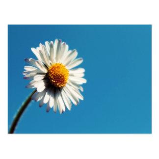 A Bright White Daisy under a Big Blue Sky Postcard