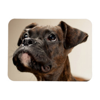 A Brindle Boxer puppy looking up curiously Magnets