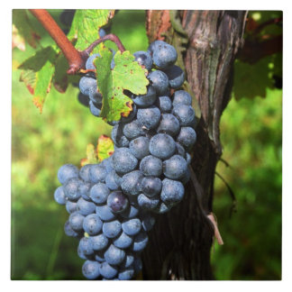 A bunch of grapes ripe merlot on a vine with large square tile