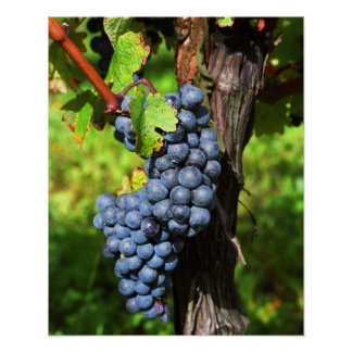 A bunch of grapes ripe merlot on a vine with poster