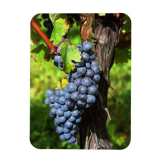 A bunch of grapes ripe merlot on a vine with rectangular photo magnet