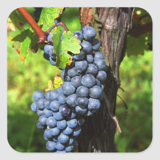 A bunch of grapes ripe merlot on a vine with square sticker