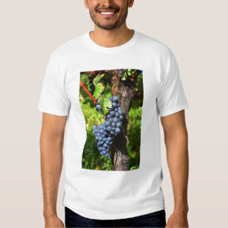 A bunch of grapes ripe merlot on a vine with t-shirt