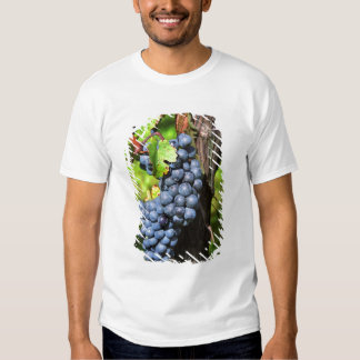 A bunch of grapes ripe merlot on a vine with t-shirts