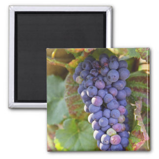 A bunch of Pinot Noir grapes in a Chambertin Refrigerator Magnets