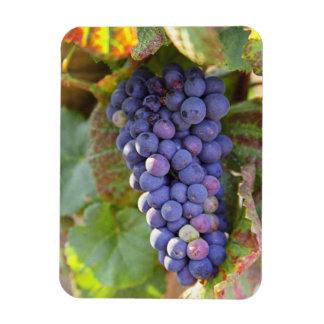A bunch of Pinot Noir grapes in a Chambertin Rectangular Photo Magnet