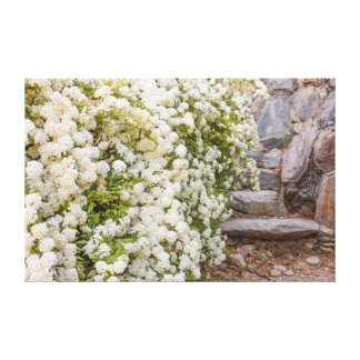 a bush of white  spirea flowers on wrapped canvas