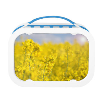 A canola field in spring lunch boxes