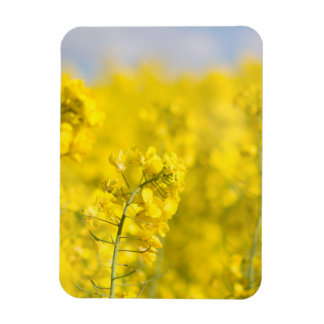 A canola field in spring rectangular photo magnet