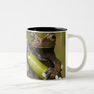 A captive Tapichalaca Tree Frog Hyloscirtus Mug