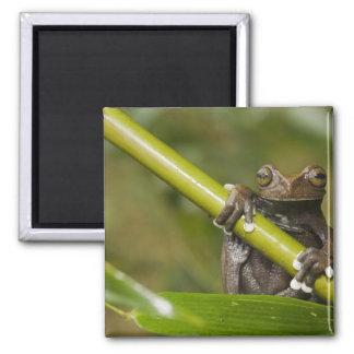 A captive Tapichalaca Tree Frog Hyloscirtus Square Magnet