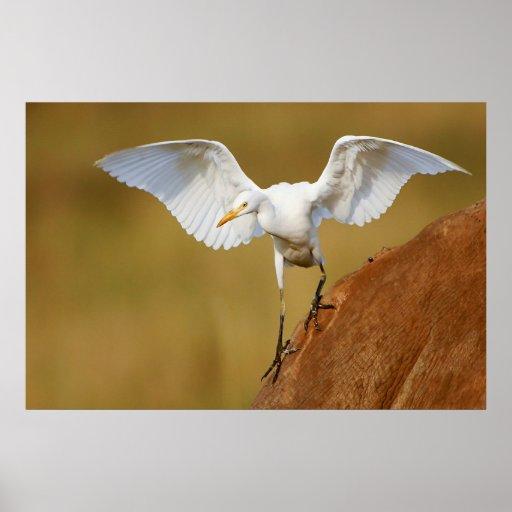 A Cattle Egret (Bubulcus Ibis) Descends Posters