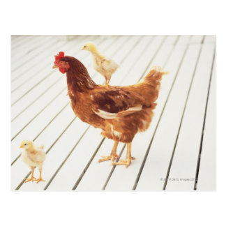 A Chicken and Two Chicks On a Wooden Floor, Postcard