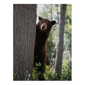 A cinnamon bear postcard
