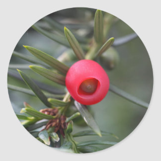 A cone of a yew (Taxus baccata) Classic Round Sticker