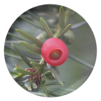 A cone of a yew (Taxus baccata) Plate