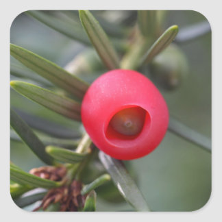 A cone of a yew (Taxus baccata) Square Sticker
