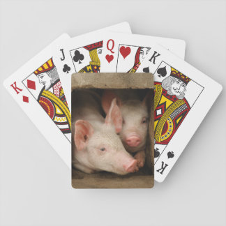 A couple of curious piglets stick their heads playing cards