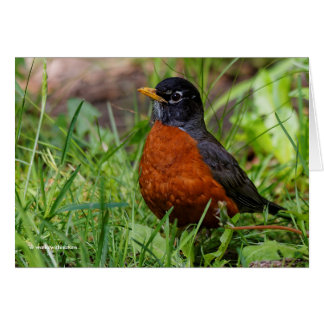 A Curious American Robin Greeting Card