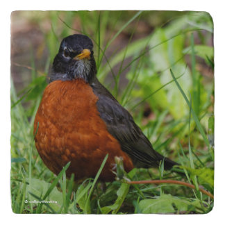 A Curious and Hopeful American Robin Trivet