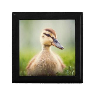 A cute baby mallard ducking sitting gift box