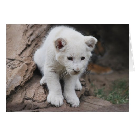 cute baby white lions - photo #19