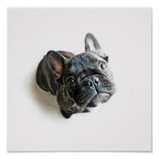 A Cute French Bulldog Puppy Poster