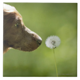 A dog and a dandelion. large square tile