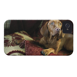 A dog lying on pillows. iPhone 4 Case-Mate case