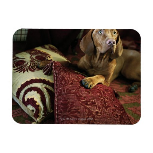 A dog lying on pillows. rectangle magnets
