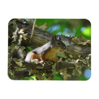 A Douglas Squirrel sitting in a Maple tree Magnet