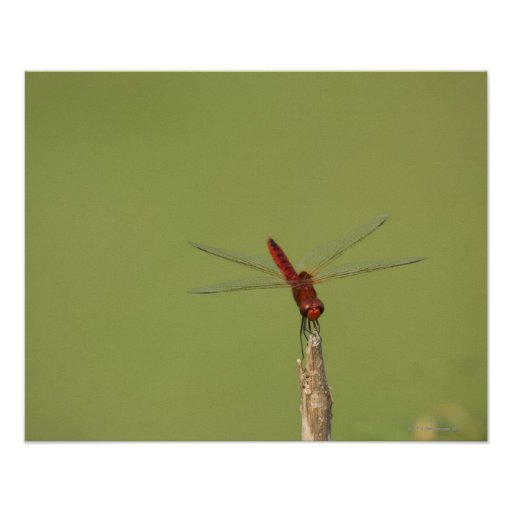 A Dragonfly rests momentarily on a dried weed Poster
