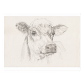 A drawing of a young cow postcard