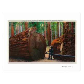 A Fallen Giant, Humboldt State Park Postcard