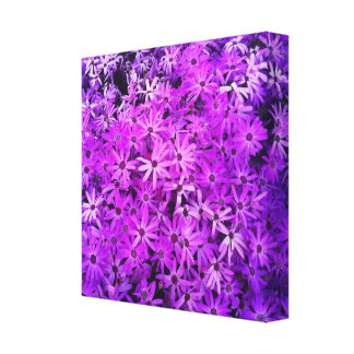 A field of Purple and Pink Daisies Stretched Canvas Print