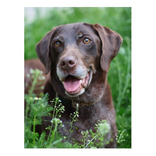 A German Shorthaired Pointer dog in the grass Postcard