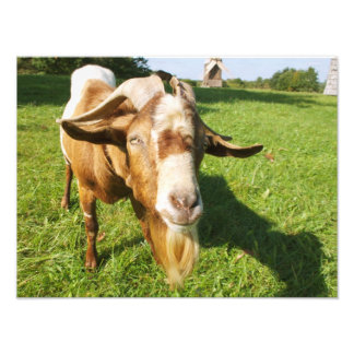 A goat - photo