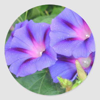 A Group of Beautiful Morning Glories Classic Round Sticker