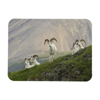A group of Dall sheep rams rest on Marmot Rock Rectangular Photo Magnet