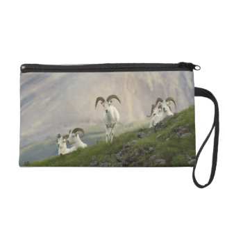 A group of Dall sheep rams rest on Marmot Rock Wristlets
