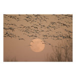 A group of migratory snow geese, Grus Posters