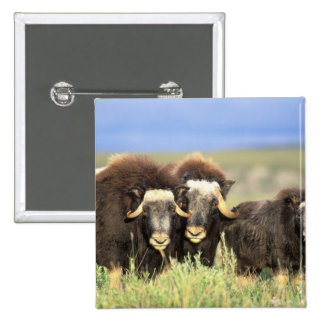 A group of muskoxen browse on willow shrubs on 15 cm square badge