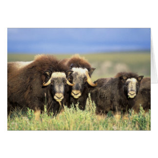 A group of muskoxen browse on willow shrubs on greeting card