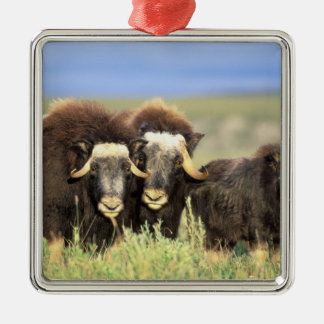 A group of muskoxen browse on willow shrubs on metal ornament